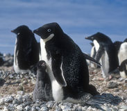 adelie Antarctica pingwiny Zdjęcia Royalty Free