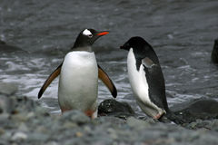 Adelie and Gentoo penguins Stock Images