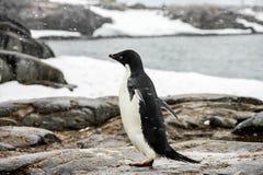 Adelie- oder Pygoscelisadeliae Pinguin Lizenzfreie Stockfotos