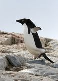 Adelie penguin royalty free stock photos