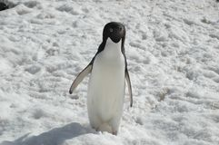 Adelie penguin royalty free stock photo