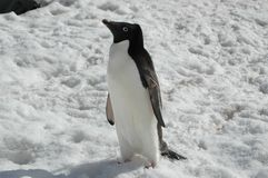 Adelie penguin. Walking on Paulet Island, Antarctica Royalty Free Stock Images