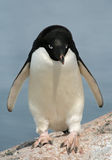 Adelie Penguin 13 Stock Photos