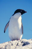 Adelie Penguin. A proud Adelie penguin against a beautiful blue sky Stock Images
