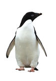 Adelie Penguin Royalty Free Stock Images
