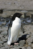 Adelie Penguin Stock Photo