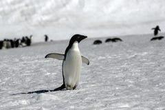 Adelie Penguin Stock Image
