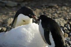 Adelie Penguin stock photography