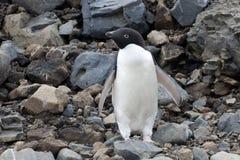 Adelie penguin Στοκ φωτογραφία με δικαίωμα ελεύθερης χρήσης