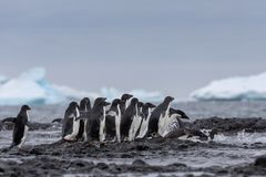 Adelie penguin. Adelie penguins heading for sea. stock images