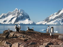 Adelie penguin and Antarctic shags at Petermann Is royalty free stock image
