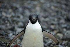 Adelie Penguin Antarctica Royalty Free Stock Photos