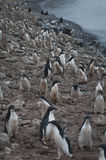 Adelie penguin in Antarctica Royalty Free Stock Images