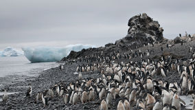 Adelie penguin in Antarctica Stock Photos