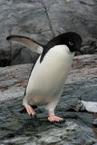 Adelie Penguin, Antarctica Royalty Free Stock Image