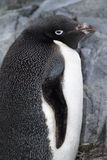 Adelie penguin, Antarctis Stock Photo