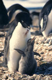 Adelie Penguin and Chick. Adelie penguin with a chick demanding to be fed Stock Photo