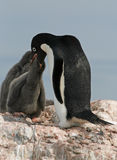 Adelie Penguin and chick Stock Photography