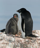 Adelie Penguin and chick 2 Royalty Free Stock Photo