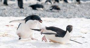 Juvenile Adelie Penguin chases an adult for food, Antarctic Peninsula stock photos