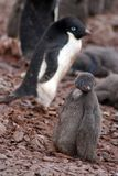 Adelie penguin chick in a colony in Antarctica Royalty Free Stock Image