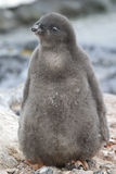 Adelie penguin chick near the nest sunny day Stock Photography