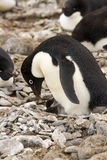 Adelie Penguin and chicks Royalty Free Stock Photography