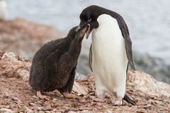Adelie penguin chicks that feeds near the nest Stock Images