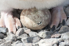 Adelie penguin chicks hatching. Stock Photos