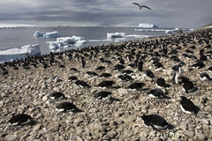 Adelie Penguin Colony - Antarctica Stock Photo