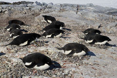 Adelie penguin colony on one of the Antarctic Stock Photography