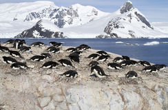 Adelie penguin colony on the rocks of one of the Antarctic islan Royalty Free Stock Images