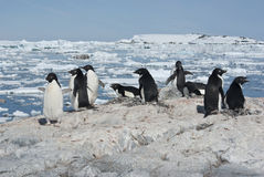 Adelie penguin colony on the rocky Antarctic island summer day. Royalty Free Stock Photo