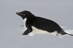 Adelie Penguin crawling on a snowy field Stock Image