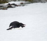 Adelie penguin Royalty Free Stock Image