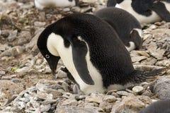 Adelie Penguin feeding chick Stock Photos
