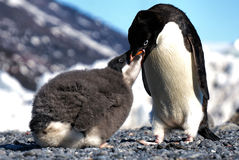 Adelie Penguin feeding chick. Adelie Penguin feeding its almost adult chick, you can even see the krill content in the food. Photo taken in Cape Adare, Ross Sea stock photography