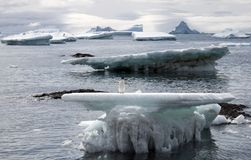 Adelie penguin on an ice floe in Antarctica. An Adelie penguin standing on an ice floe at Brown Bluff, Antarctica, with icebergs in the distance Stock Photos