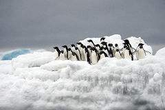 Adelie Penguin on ice, Weddell Sea, Anarctica Royalty Free Stock Image