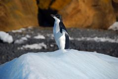 Adelie penguin on an iceberg Royalty Free Stock Photo