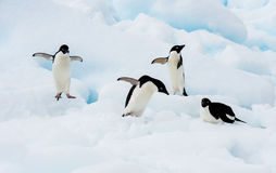 Adelie Penguin on an Iceberg Royalty Free Stock Images