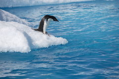 Adelie penguin on iceberg edge in Antarctica Royalty Free Stock Photo