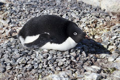 Adelie penguin incubates clutch in colony spring Stock Images