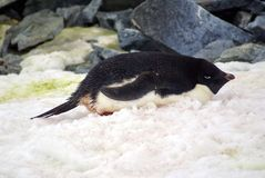 Adelie penguin lying in the snow royalty free stock photos
