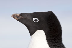 Adelie penguin portrait closeup spring Royalty Free Stock Image
