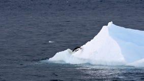 Adelie penguin (Pygoscelis adeliae). Jumping off an iceberg Royalty Free Stock Photos
