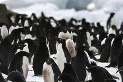 Adelie penguin (Pygoscelis adeliae) Stock Images