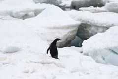 Adelie penguin (Pygoscelis adeliae) Stock Photography