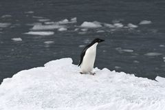 Adelie penguin (Pygoscelis adeliae) Royalty Free Stock Images