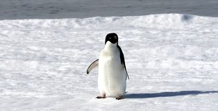 Adelie penguin (Pygoscelis adeliae) Royalty Free Stock Photography